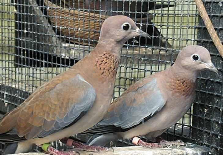 Senegal Dove